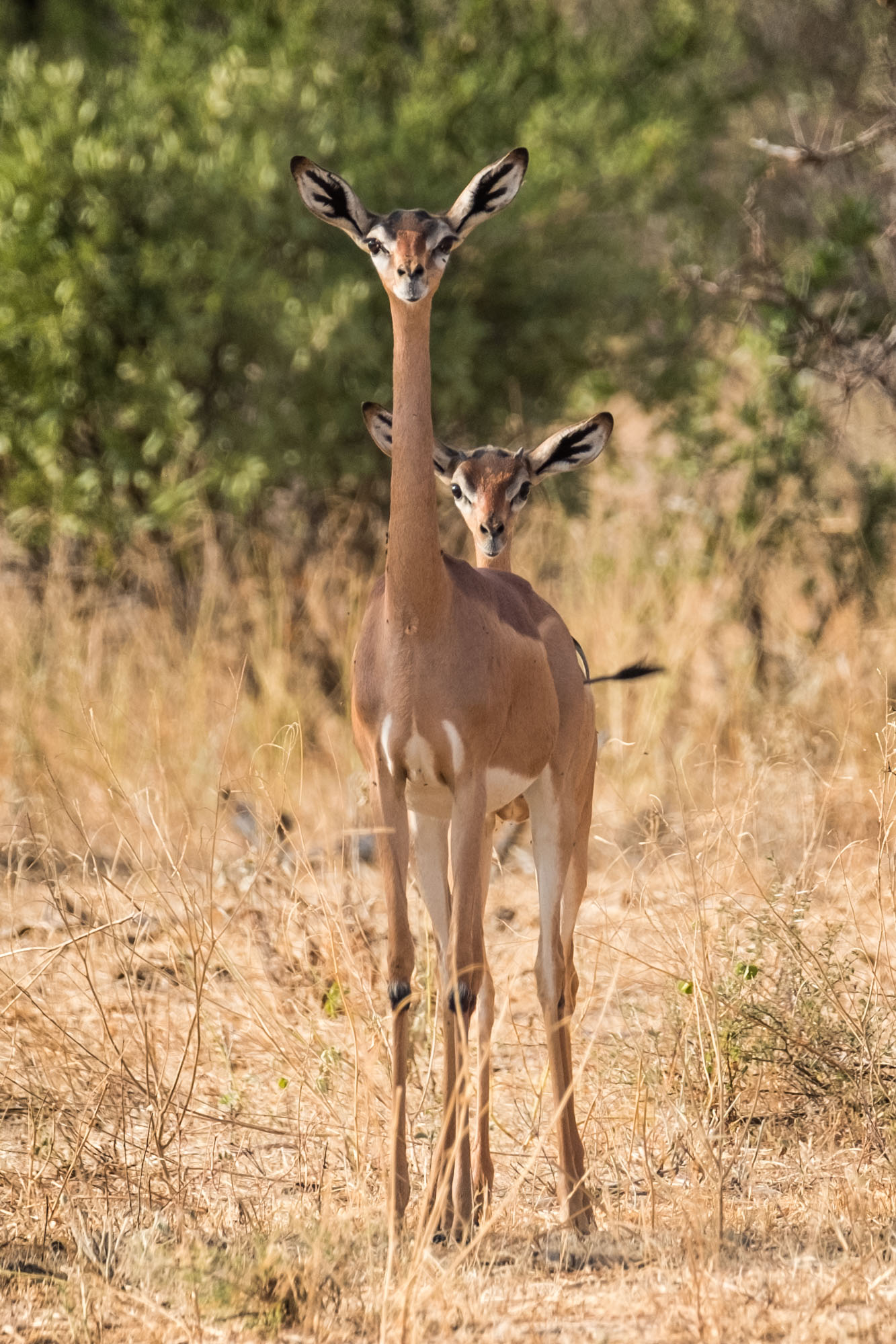 2garenuk-samburu-land-northern-kenya-2018-01-09.jpg