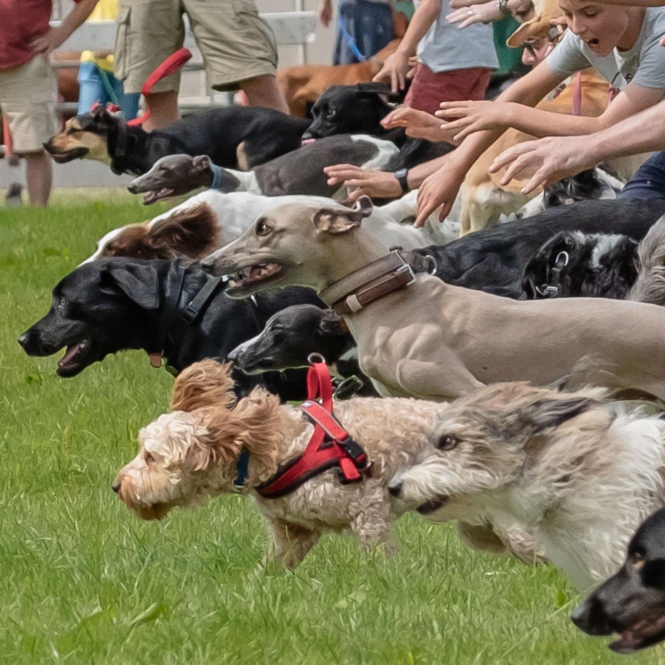 llanthony-fair-wales-dog-race-start-line-go-2018-08-04.jpg