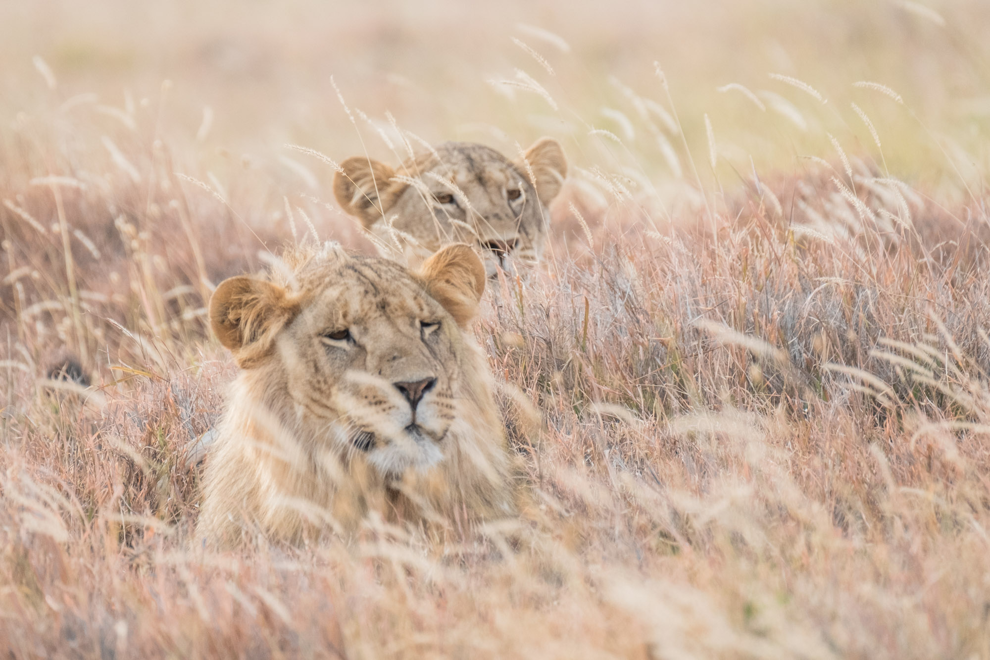 lions-in-grass-lewa-kenya-2018-01005
