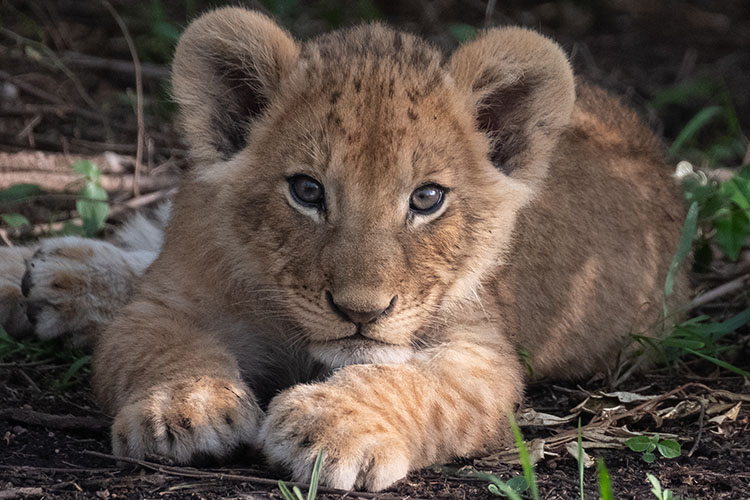 Young lion kitten