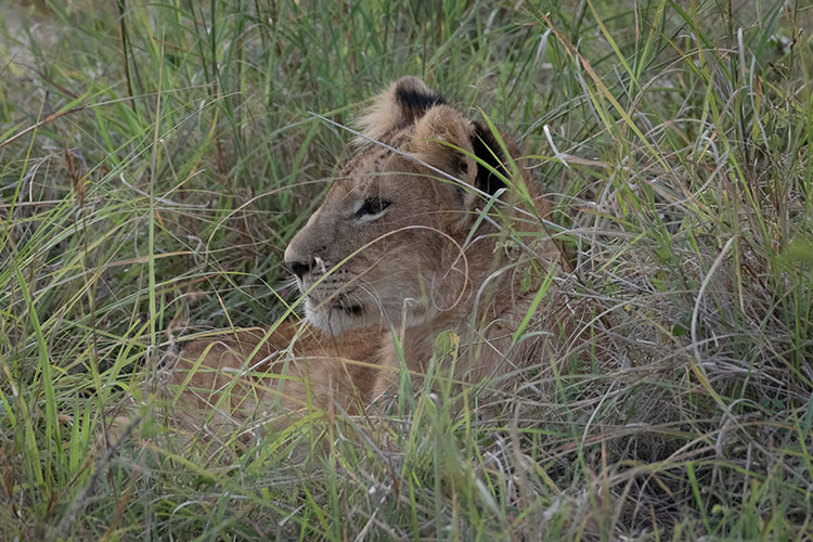 Lion cub in grass