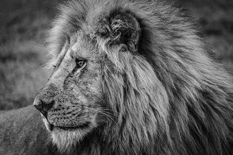 Lion king in black and white