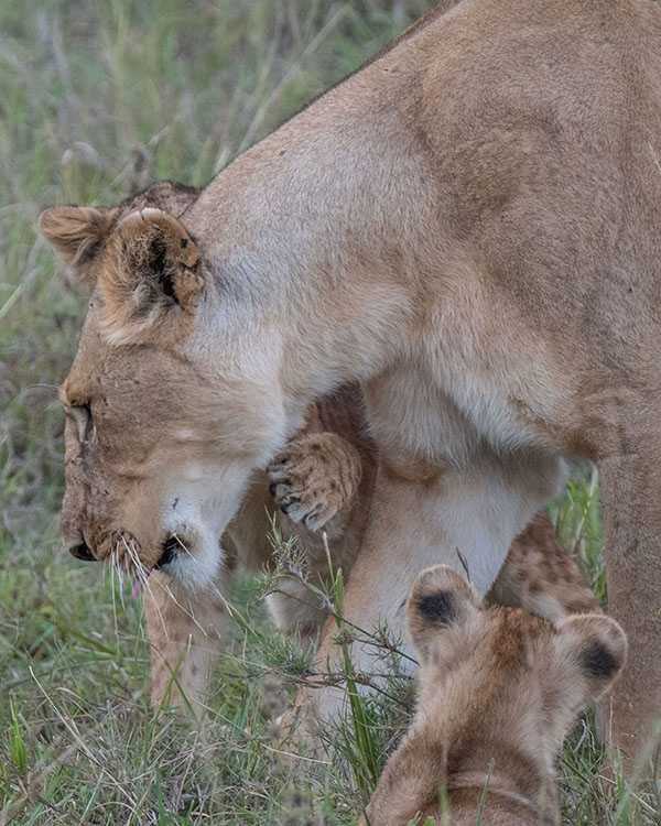 A mother and two cubs