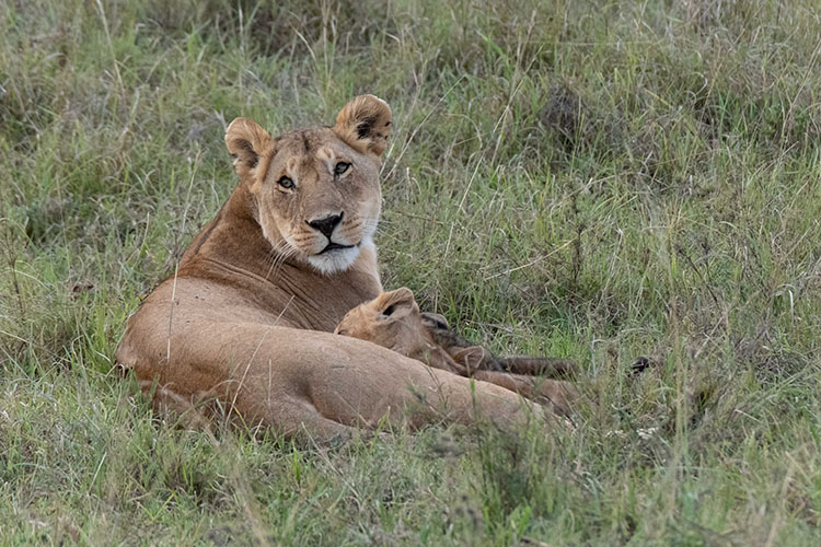 Nursing lion