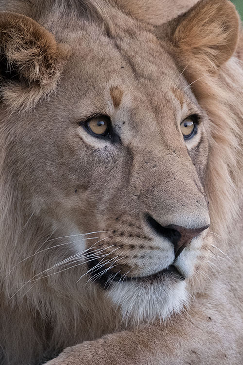 A young male lion, looking