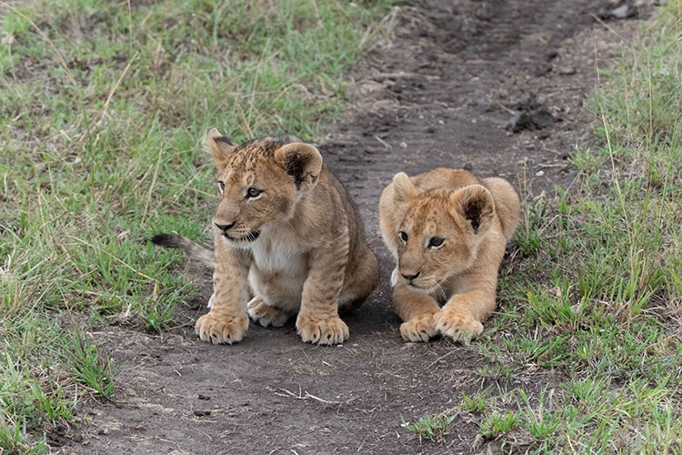 Two cubs on the road