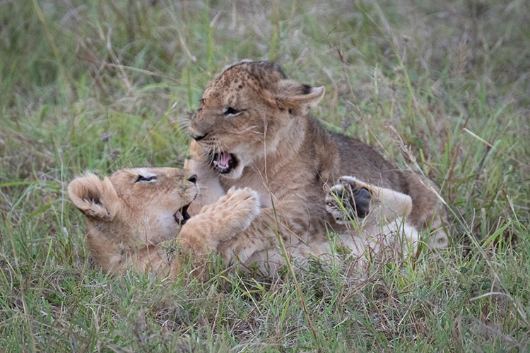 Two cubs playing