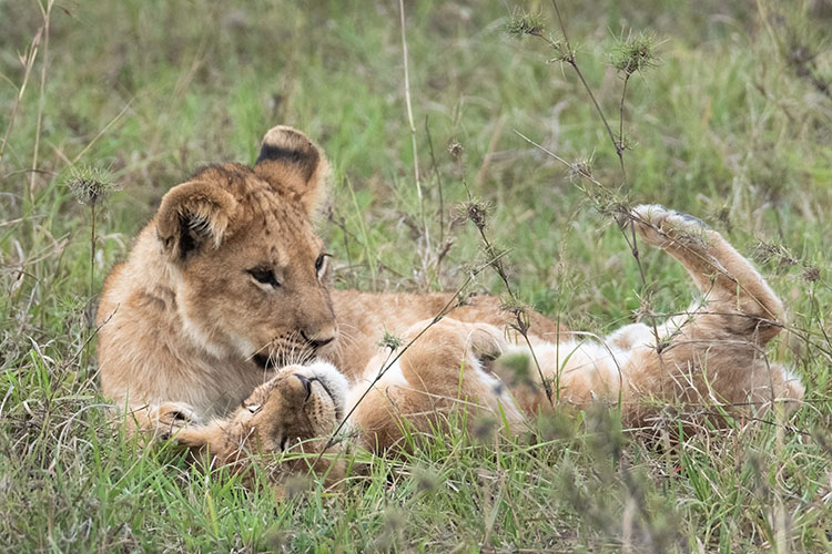 Two cubs playing in the grass