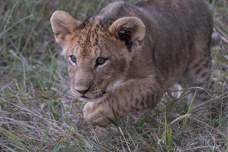 A cub stalking