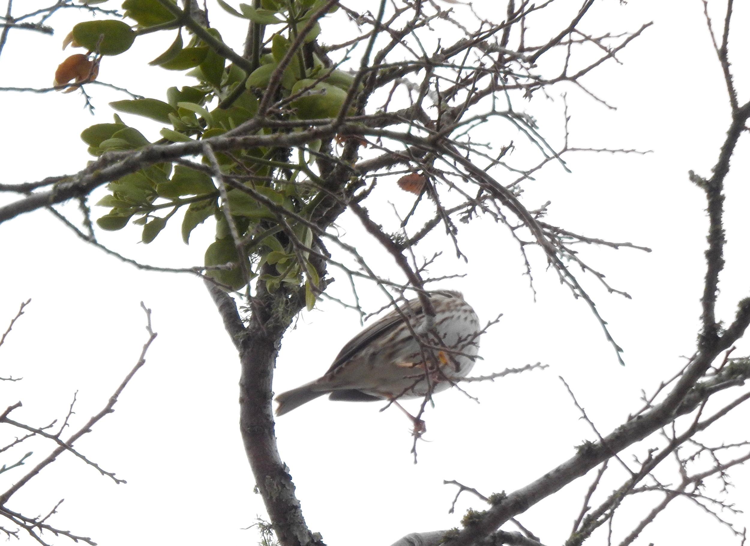 Savannah Sparrow with Christmas Mistletoe
