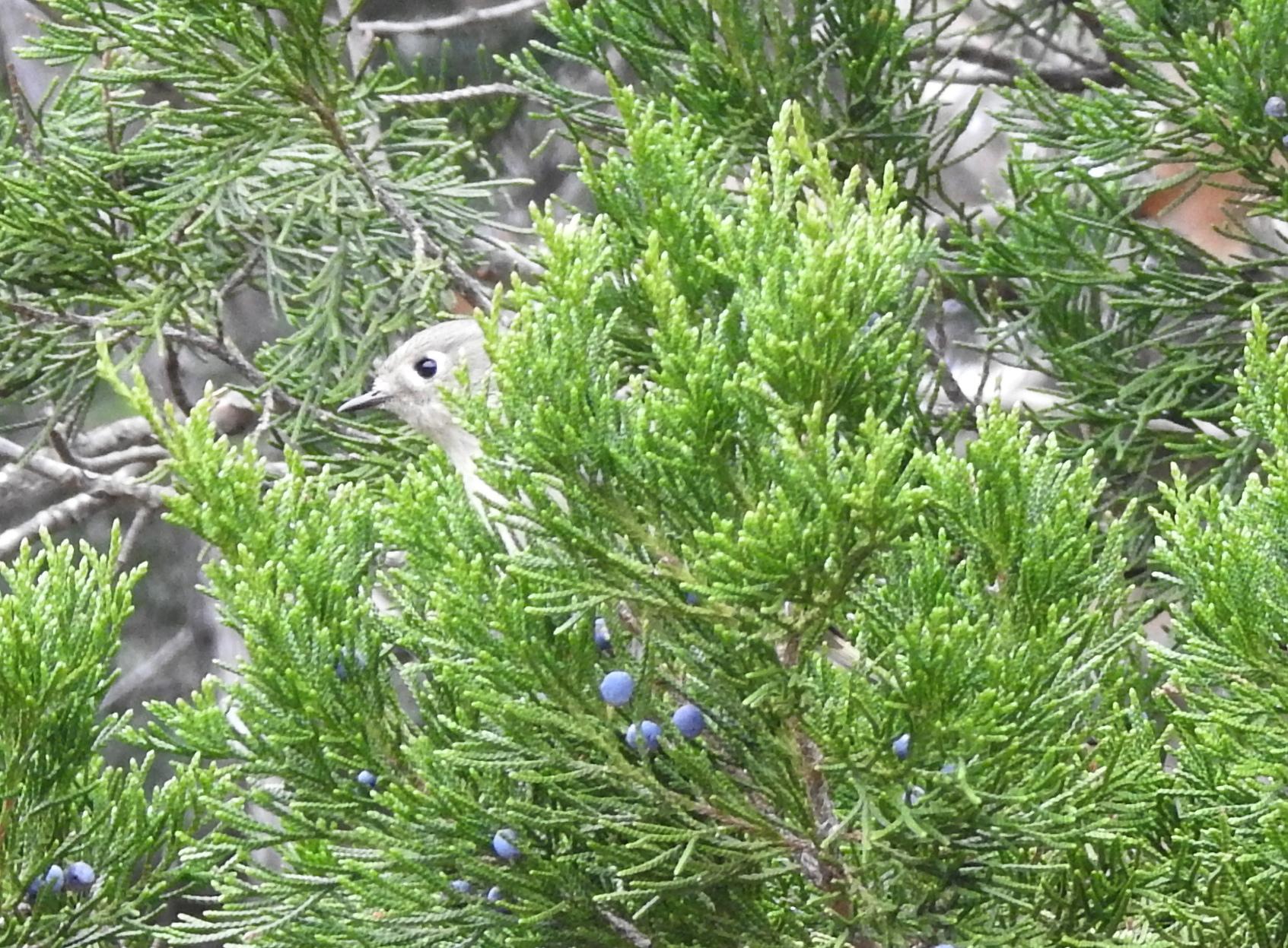 2017 Lost Pines Christmas Bird Count - McKinney Roughs Nature Park, Cedar Creek, TXDecember 30, 2017