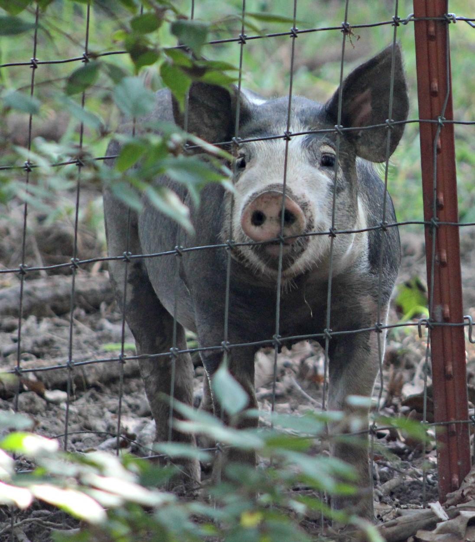 pig image 1.jpg
