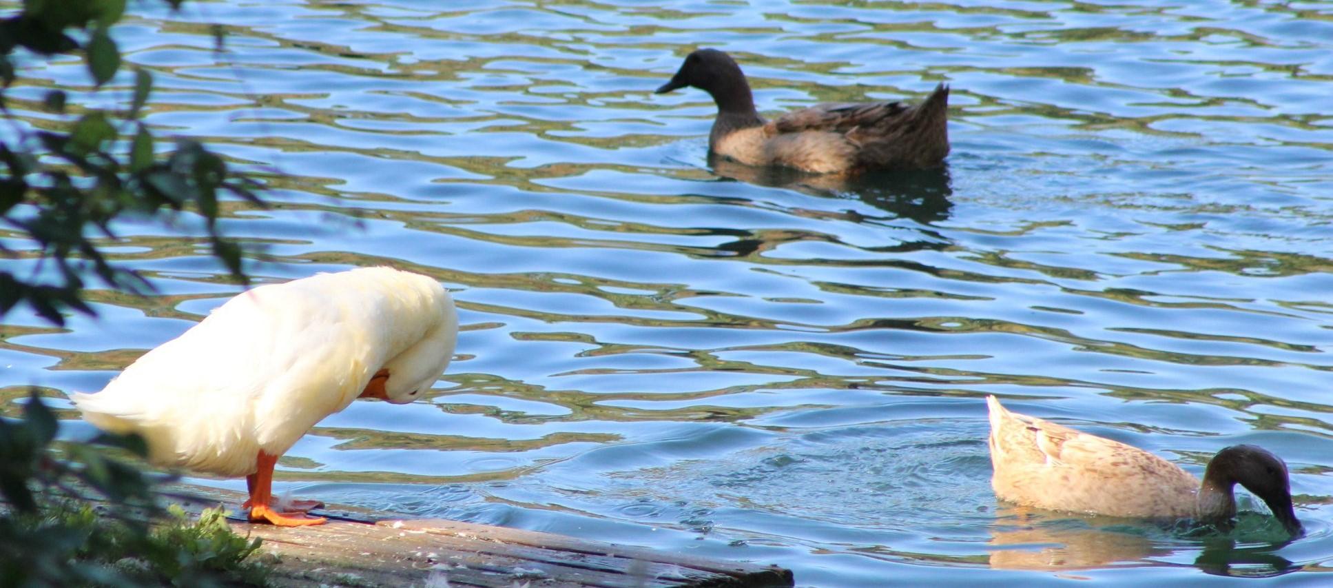 Ducks image 1.jpg