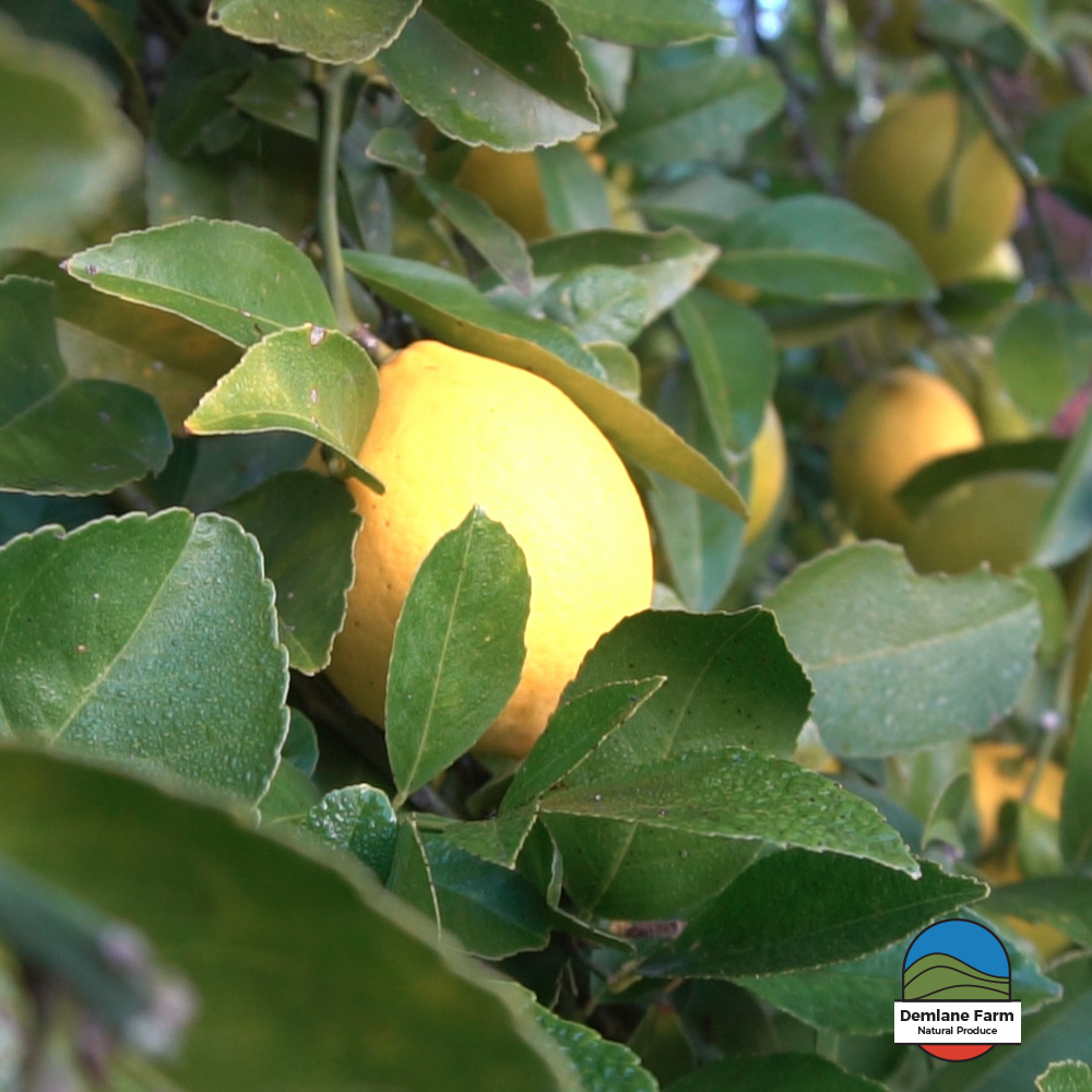 Our orchard has a range of citrus trees - Lemons, Lemonades, Oranges, Mandarins, Limes, Cumquats & Buddha's Hand