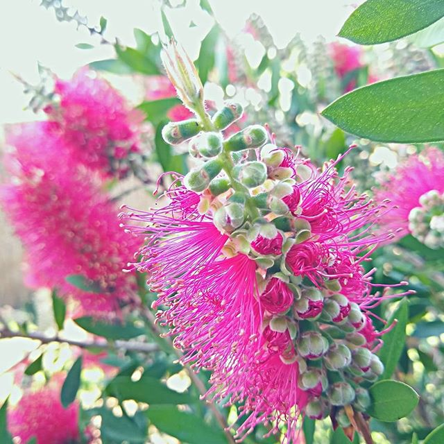 ❇️❇️ Too pretty to pass ❇️❇️ #pinkbottlebrush #australiannatives