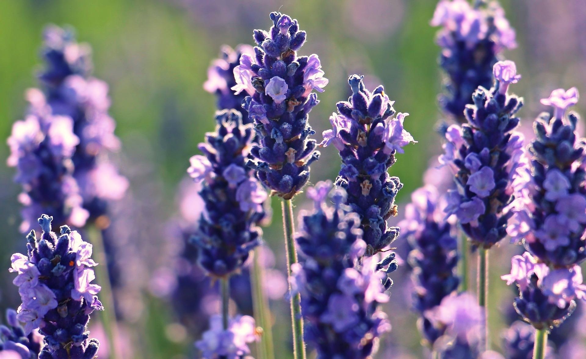 lavender-2426376_1920.jpg
