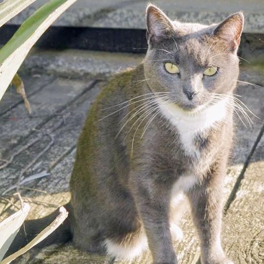 Three-legged  Lila  is lost from  Burrell/Makora Road . She's a quiet lass who's missing her miaow, and who of course is also a greatly missed family member. Everyone in this area, and further afield, please check your sheds, holiday homes etc. Let's get this leggy lady home.