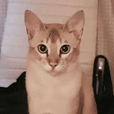 Lovely  Leia  is a Burmese cross and has been missing from  Ocean Road, Surfdale  since October 2017. She was last seen wearing a brown collar with flowers. She has tiger stripes on her legs, tummy & tail, and as she's very inquisitive she may have taken an accidental road-trip.