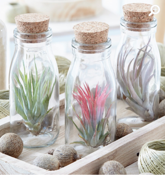Invincible Air Plant Glass Bottle Crocus