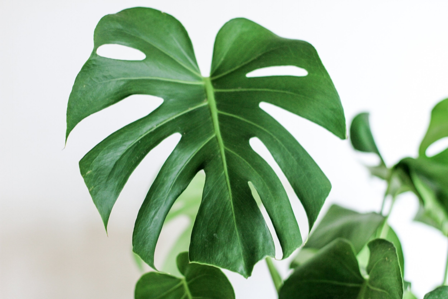Monstera plants are easily recognized by their large green leaves filled with long holes.