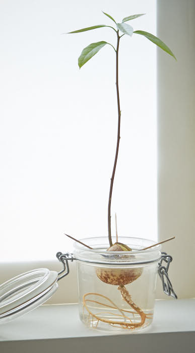 Baby avocado tree growing roots   , slowly but surely.  Photo: InvincibleHousePlants.com