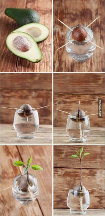 Steps to Grow an Avocado Plant from the Seed. Picture from  9gag.com .