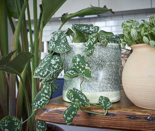 Satin Pothos vines. Leaves curl when humidity is too low. Photo: InvincibleHousePlants.com