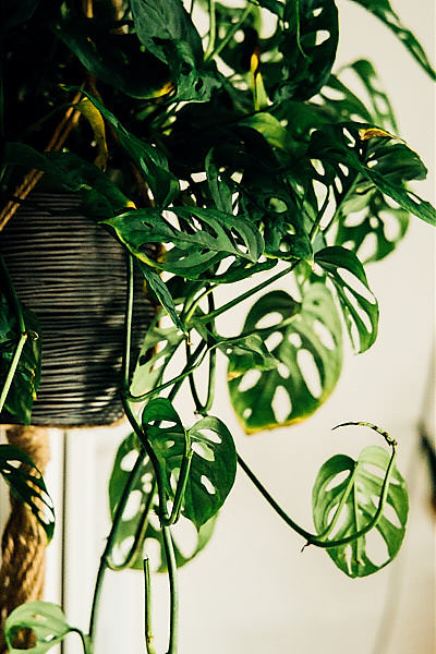 Swiss Cheese vines, a.k.a  Monstera Obliqua , have the same characteristic holes as the Fruit Salad plant.