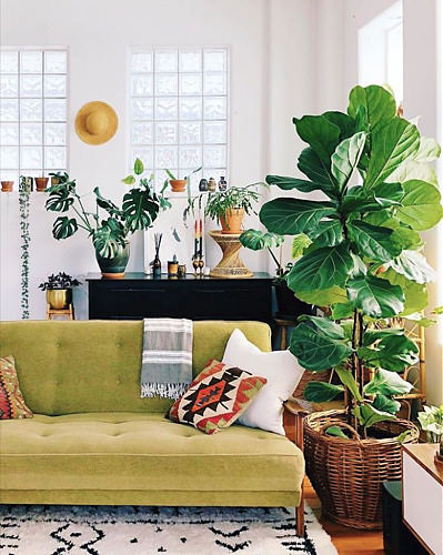 Such a voluptuous presence for this incredible Fiddle Leaf Fig. Photo: Ron Goh ( @mrcigar  on instagram)