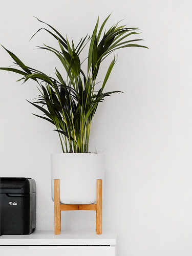Palm plants are versatile yet very resilient indoor plants, perfect for beginners. Photo: Sarah Dorweiler