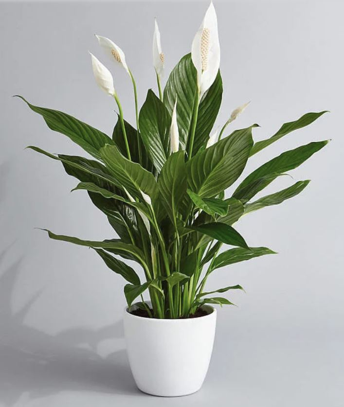 Peace lilies grow zen-inducing flowers with deep green leaves. (Photo: PrettyInGreenPlants/Etsy)
