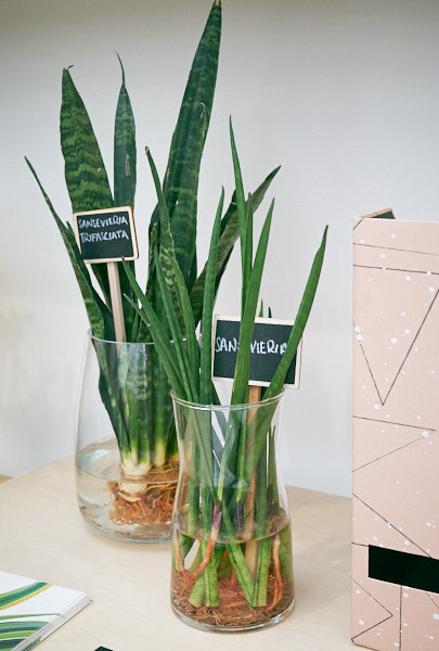 sansevieria-trifasciata-mother-in-law-tongue-plant.jpg