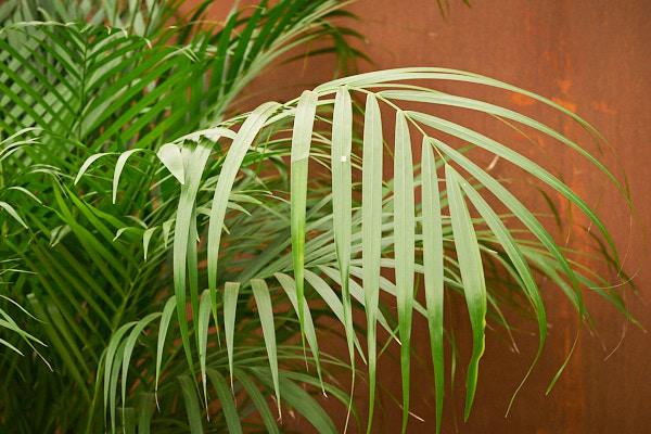 kentia-palm-plant-howea-forsteriana.jpg
