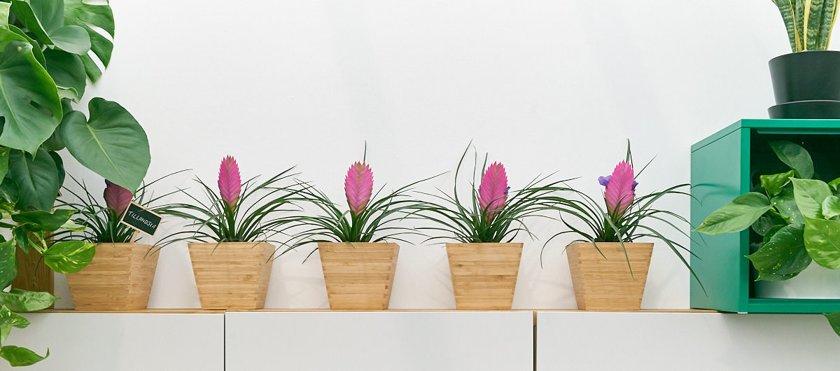 bromeliaceae-tillandsia-bromeliad-plant.jpg