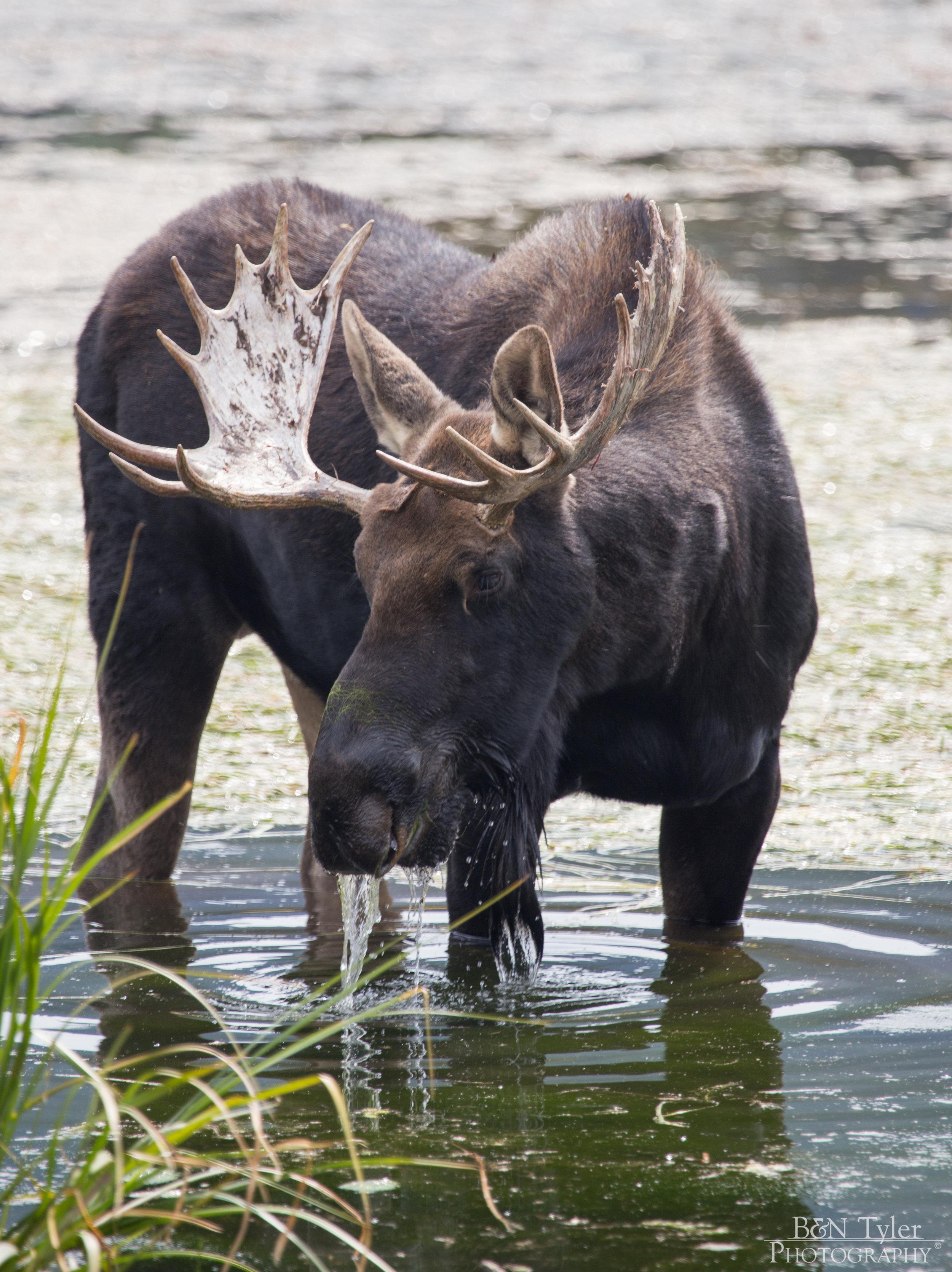 Moose in a lake