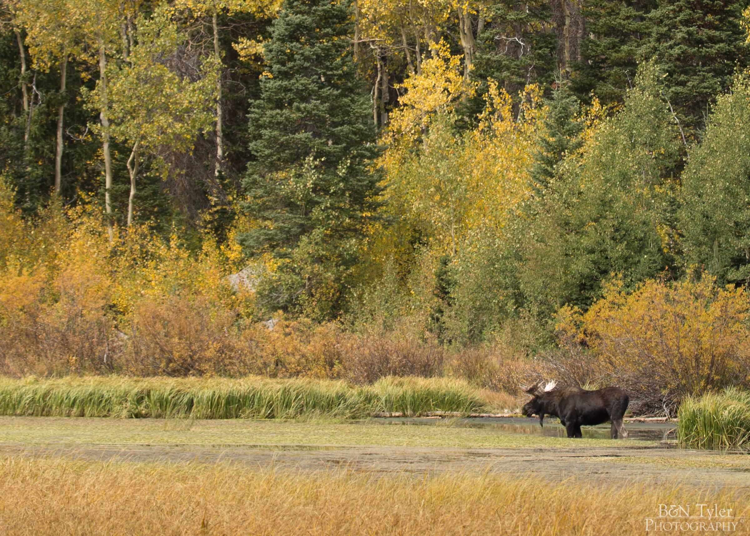Moose in the fall