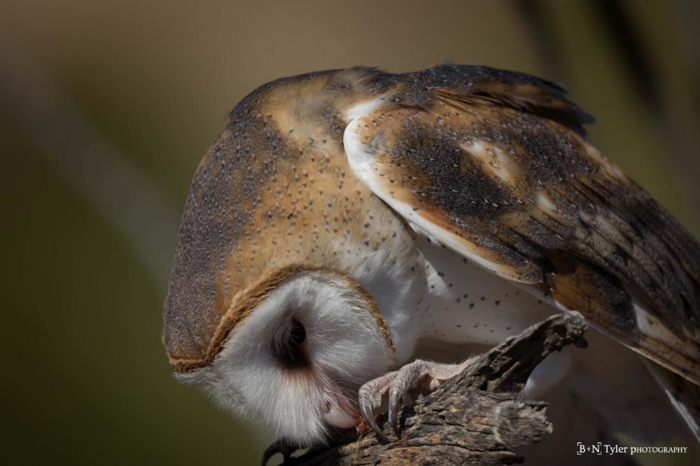Barn owl pounce