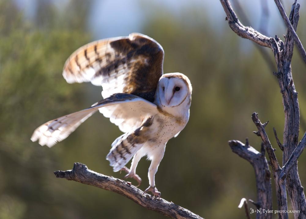 Barn owl mid launch