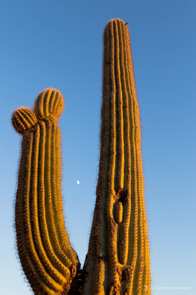 Moon rise saguaro