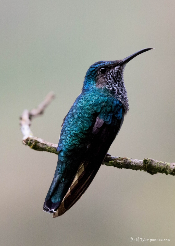 Female White-necked Jacobin