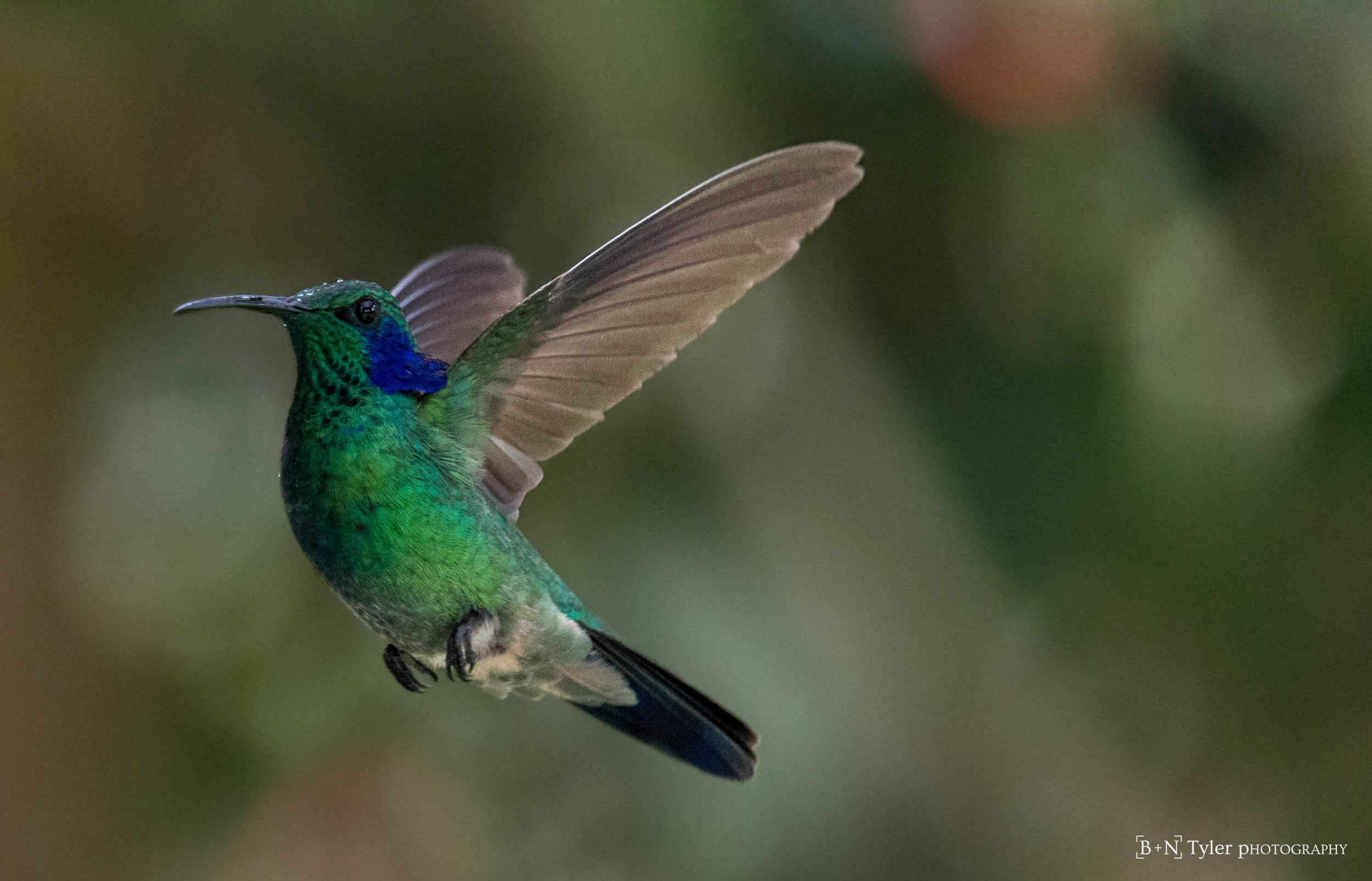 Green Violet-Ear Hummingbird mid flight