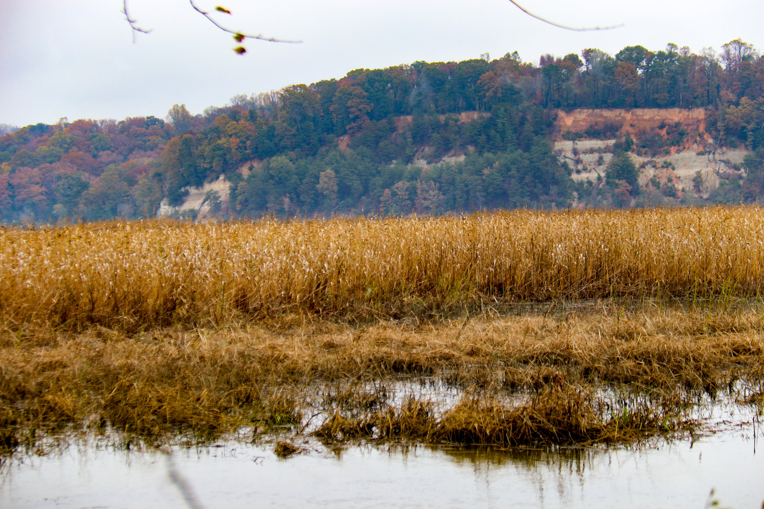Native Phragmites with Fones Cliffs