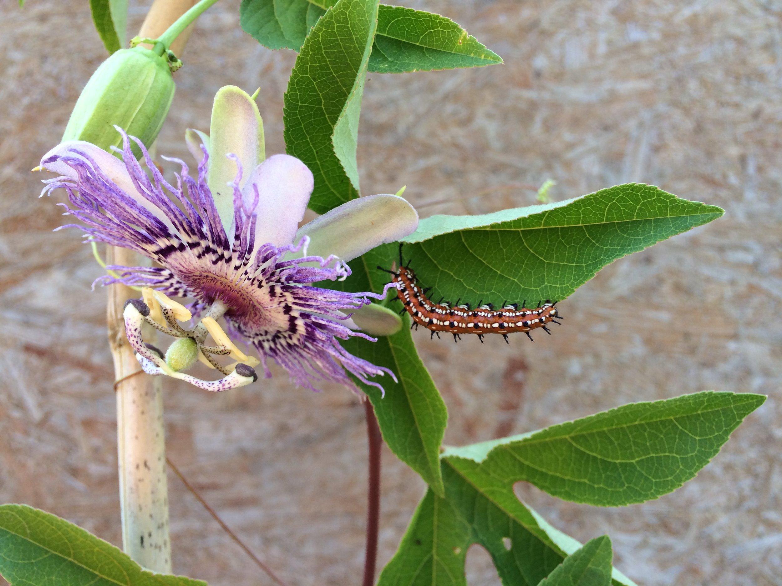 Fritallary Caterpillar.JPG