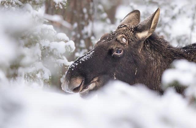 Bull Moose soon after antler drop (Photo: Grzegorz Długosz)