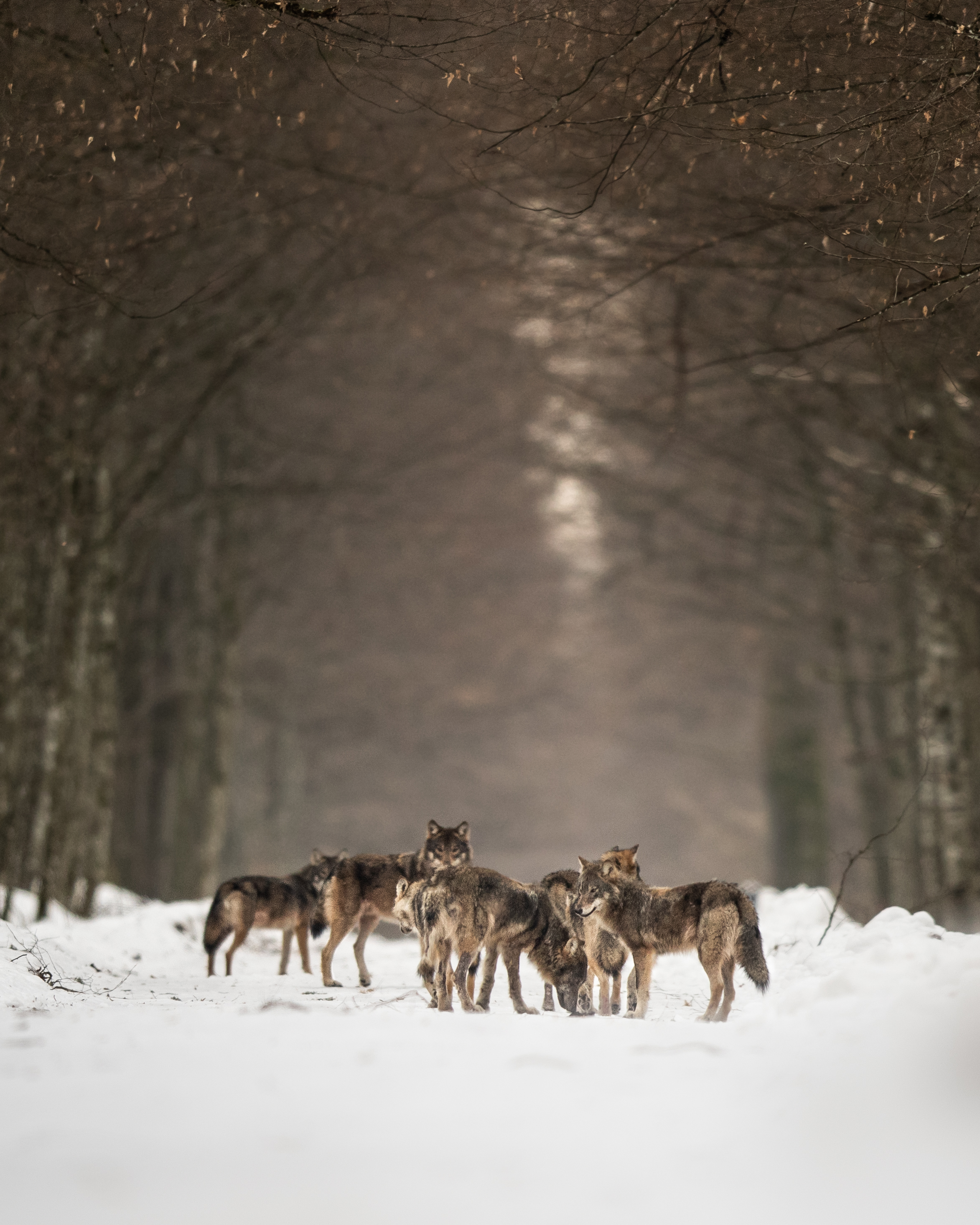 Wolves rendezvous at a wilderness road crossing (Photo: Grzegorz Długosz)