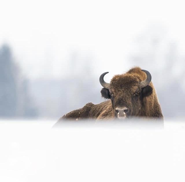 European Bison bedded in fog  (Photo: Grzegorz Długosz)