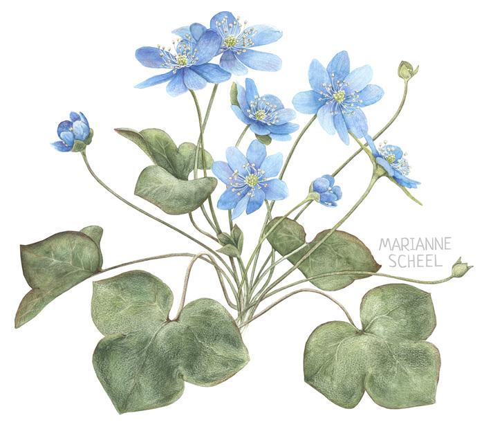 blue_anemone.jpg