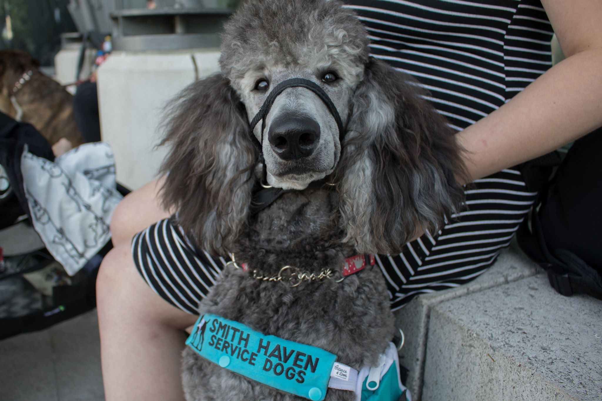 Shadow - Shadow is a pure breed standard poodle who is often referred to as a goof ball by his owner Mariah. Shadow is part of the owner trained program, to work along side his owner to become a medical alert and mental health dog.