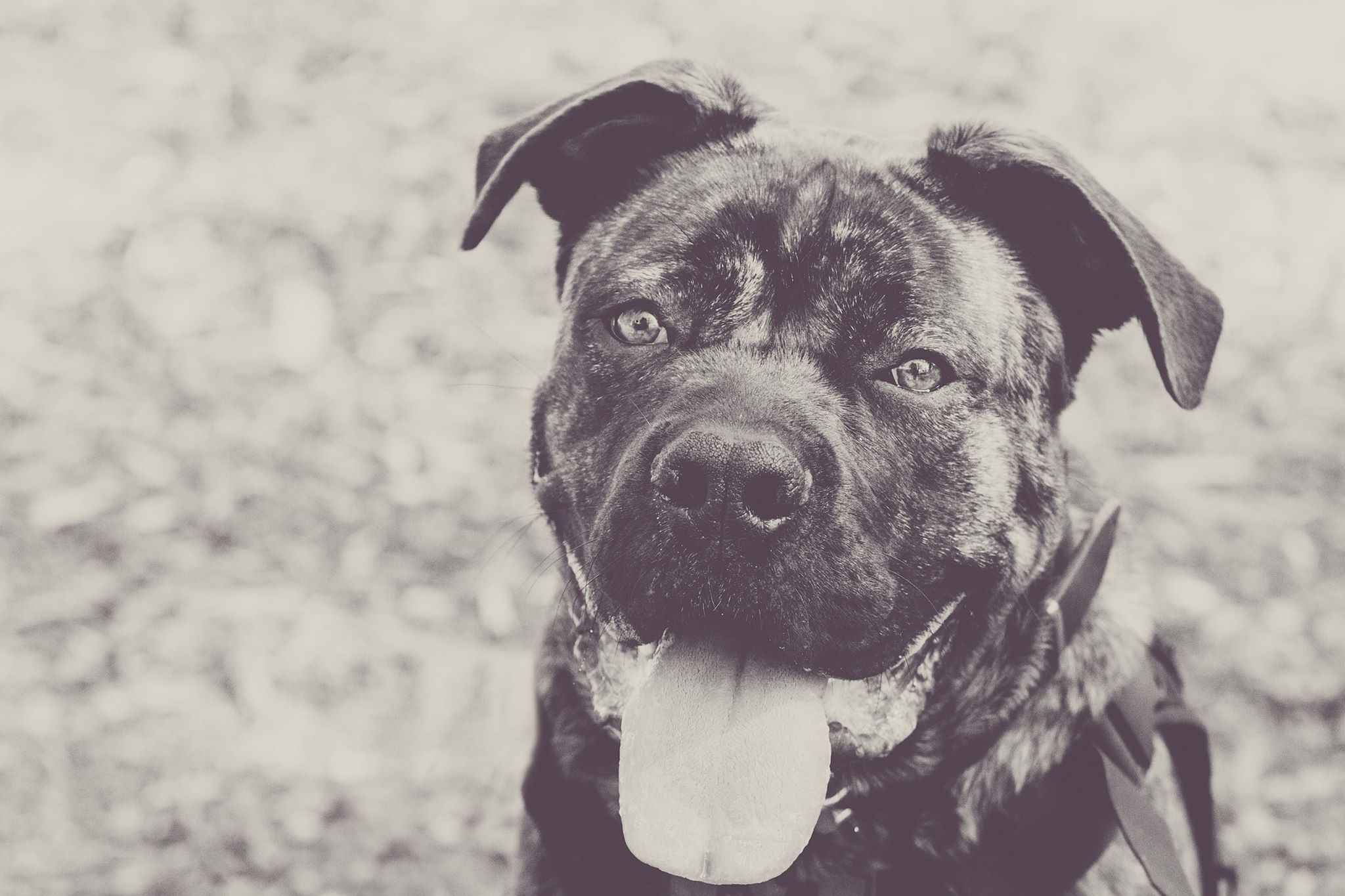Dürriken - Dürriken is a confident Cane Corso with exceptional aptitude. His work ethic to-date promises a bright future. He's loving, gentle and a goofy character who warms the hearts of many, especially his handler. Dürriken is being trained for mental health service, medical alert, and light mobility.