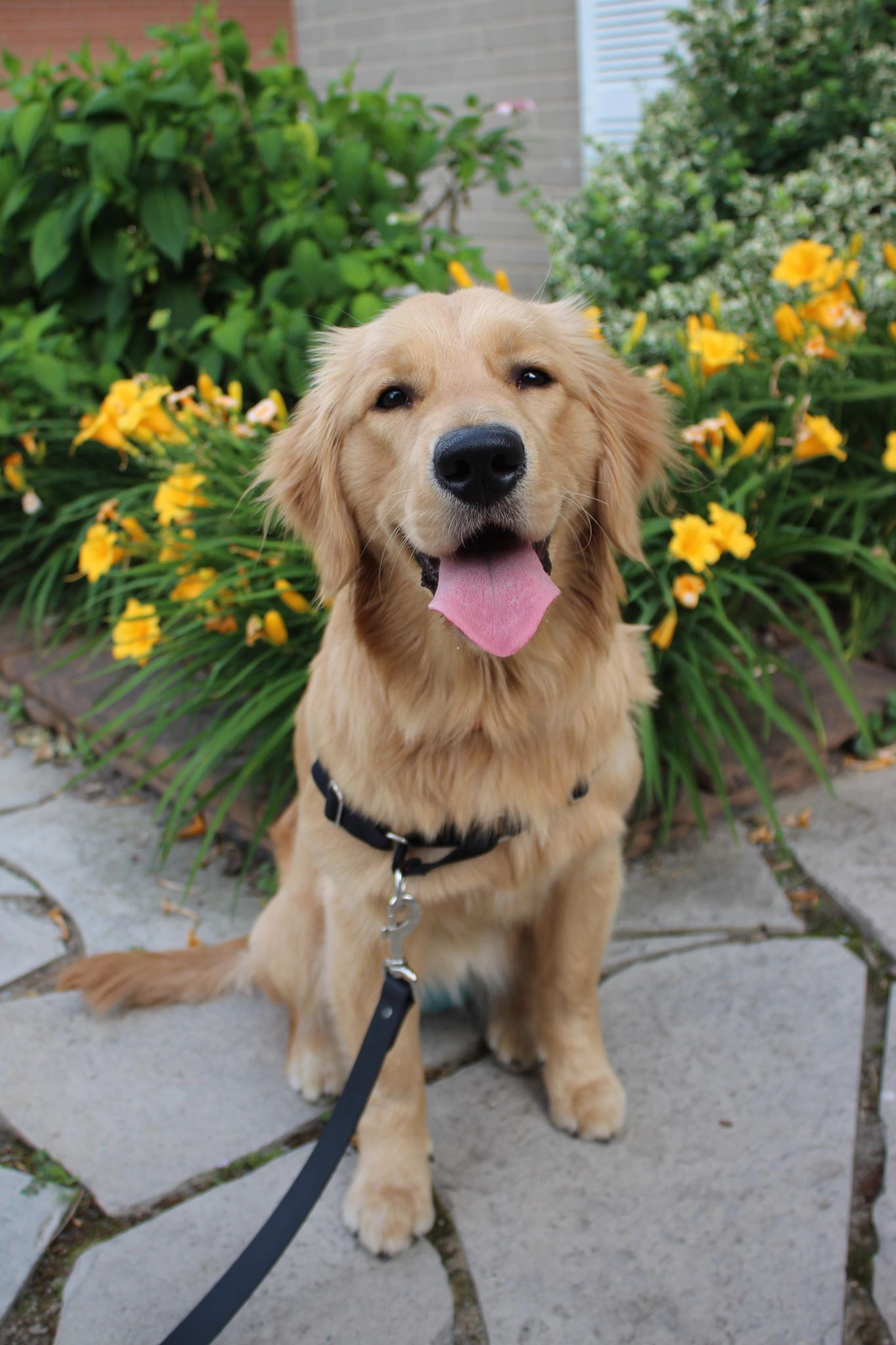 Avery - Avery is an 8 month old puppy in training to become a medical alert and mental health dog. She is a field golden retriever with a high energy drive and great focusing abilities. This stubborn and confident girl is also a quick learner and never fails to put a smile on her owners face.
